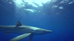 blue shark in blue water getting close - stock footage