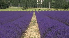Lavender fields, Sault, Vaucluse, Provence, South of France by drone - stock footage