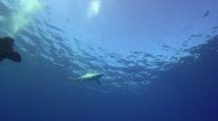 Blue shark in blue water Stock Footage
