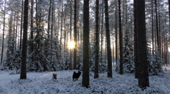 Hunting dog Laika. Winter forest. The sunset in 4K Video. Stock Footage