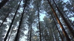 High pines rotation of the sky.  Tops of the trees in winter forest. Stock Footage