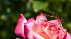 Katydid Tettigonia cantans on a pink rose - stock photo