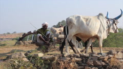 Rural man pumps water from a well with the help of oxen - stock footage
