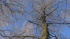 Rotation of the sky. Tops of the trees in winter forest.  Stretch to the sky Stock Footage