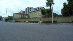 Pig on street summer Stock Footage