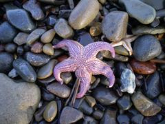 Starfish ashore.  erinaceouses mollusks. Stock Photos