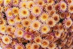 Chrysanthemums - stock photo