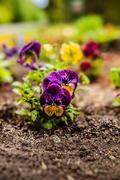 garden pansy - stock photo