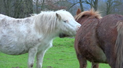 2 ponys in a green meadow scratching their back eachother - zoom out Stock Footage