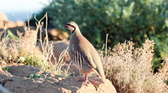 Close up of a partridge pooping on a rock. Stock Footage