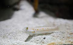 Maiden goby fish - stock photo
