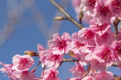 Cherry blossom, sakura flowers Stock Photos