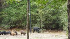 Wild Hogs Stock Footage