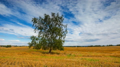4k timelapse of lonely birch tree on stubble field Stock Footage