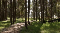 Beautiful Tuart forest bathed in sunlight Stock Footage