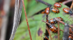 Lady bugs in nature Stock Footage