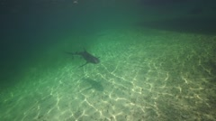 Caribbean reef shark in shallow water swims over sandy bottom Stock Footage