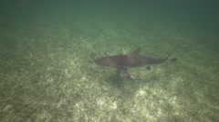 Caribbean reef shark in shallow water Stock Footage