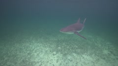 Caribbean reef shark approaches in shallow water Stock Footage