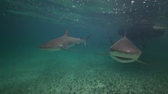 caribbean reef shark in shallow water swim towrds camera - stock footage