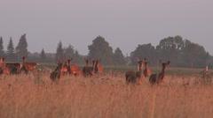 Deer animal herd grown in fenced captivity field. 4K Stock Footage