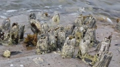 Barnacles in front of sea at Meelup Beach Stock Footage