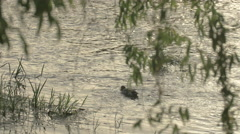 Duck swimming in the water in Cluj-Napoca Stock Footage