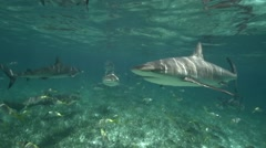 caribbean reef sharks in shallow water geting close - stock footage