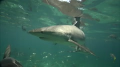Caribbean reef sharks in shallow water swim towrds camera Stock Footage