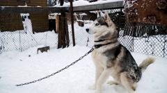 Dog siberian husky on winter background Stock Footage