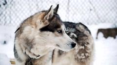 Dog siberian husky close up Stock Footage