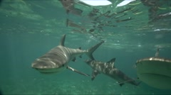 caribbean reef sharks in shallow water - stock footage