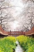 JINHAE, KOREA - APRIL 2, 2009: Yeojwacheon in Jinhae, Korea. Famous place for - stock photo
