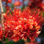 Fire of Pakistan flower blossom Stock Photos