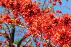 Fire of Pakistan flower blossom - stock photo