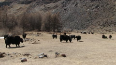Yaks Graze On The Mountain Pasture Stock Footage