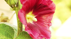 Red Flower Mallow Closeup Stock Footage