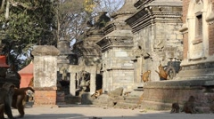 Monkeys roam around the ancient temple. Slider shot Stock Footage