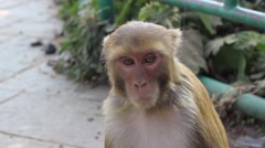 Portrait of a macaque. Expression of interest - stock footage