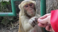 Monkey takes a nut from my hand and eats Stock Footage