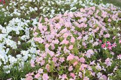 Background Surfinia pink and white  petunia - stock photo