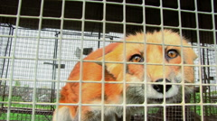 Fox In The Cage Stock Footage