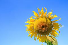 Blooming of sunflower field Stock Photos