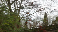 Robins perching and flying in pine trees winter Stock Footage