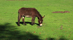 Donkey Grazing on a Green meadow Stock Footage