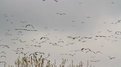 White storks migrating - stock footage