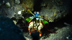 Peacock Mantis Shrimp Stock Footage