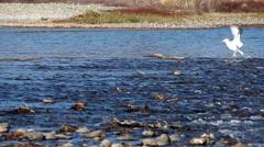 Seagull Taking Bird Bath In American River Stock Footage