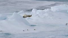 Polar bear sleeping on ice - stock footage