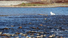 Stock Video Footage of Seagull Standing On Rock In American River